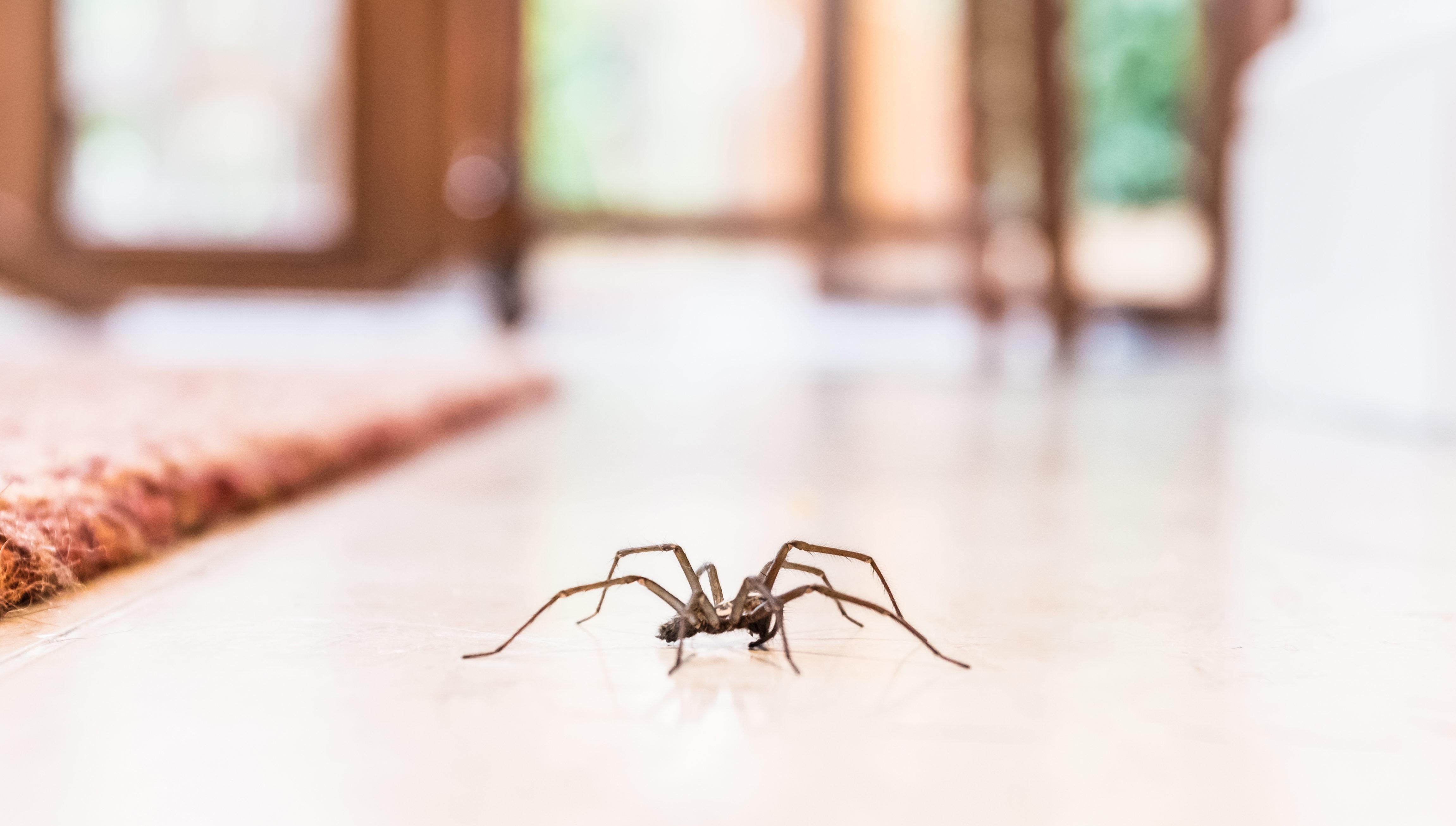 Symbolbild Spinne im Haus